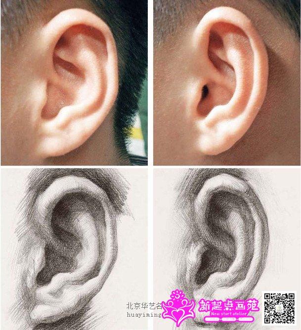 耳部特征的表现规律   和鼻子一样, 耳朵的年龄差异也不是非常明显。以此, 我们要把耳朵的形体特征作为绘画的重点。每个人耳朵的形状都是有差异的,表现时要把握它的基本结构特征才可掌握绘画要领。绘画时要从耳朵最为概括的大形着手, 层层深入地找出小形体才能找到每一处形体之间的来龙去脉。要体现耳朵与后脑的空间距离,以及它与头发的明暗对比和耳垂与颈部的空间距离。   耳部的角度特征   1 ) 正面俯视角度耳部表现规律: 俯视的耳朵整体高度变短。内外耳廓、耳窝等的顶面增大,底面消失或变小。整体透视有向下的趋势